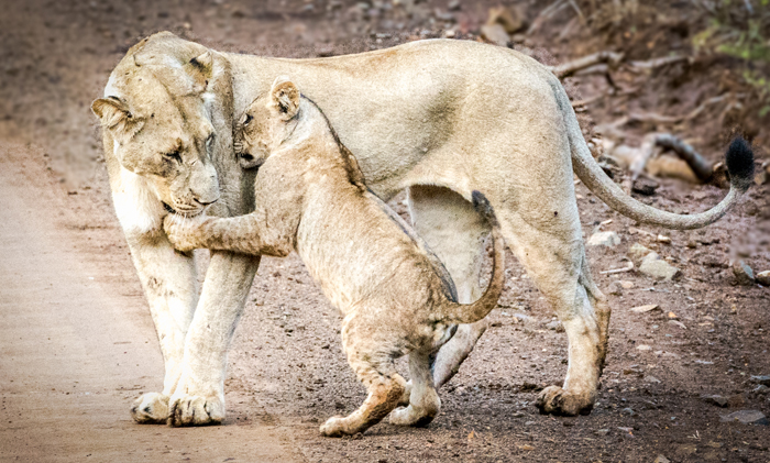 mother-lioness-and-cub