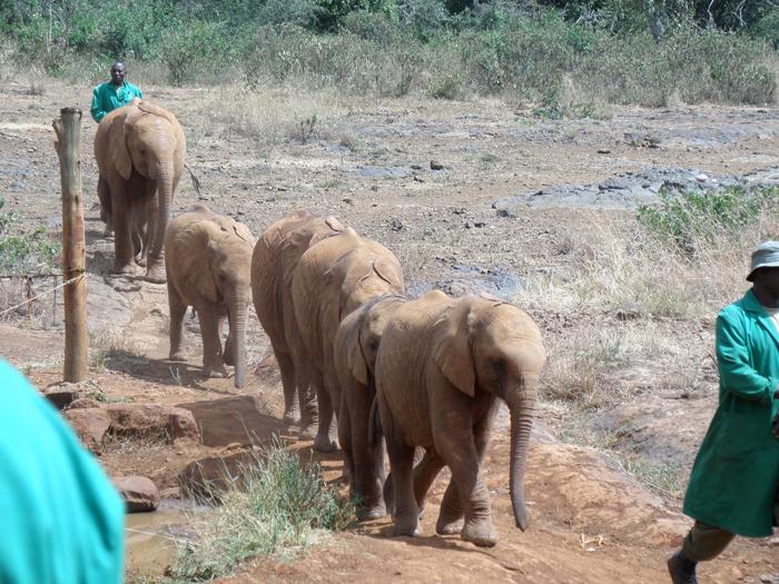 orphaned-elephants