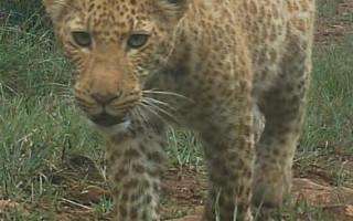 pink-leopard-tara-pirie