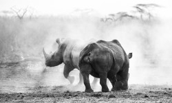 rhino feature