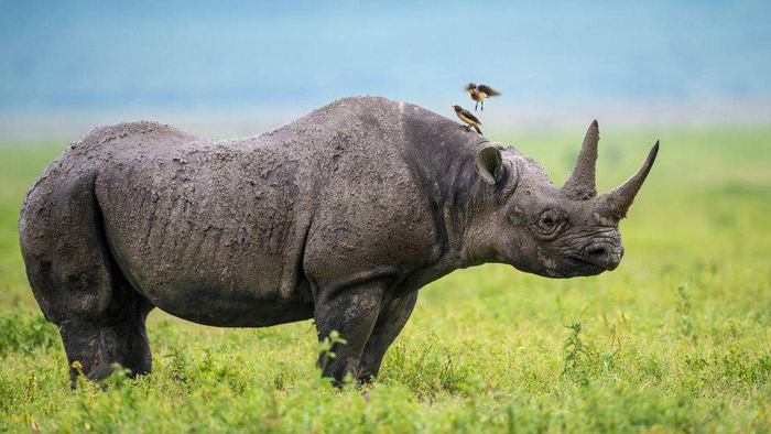 The right background can make all the difference. This blues and greens in this image by Yair Schwartz really make the rhino pop.