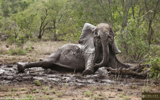 stuck-in-the-mud-elephant