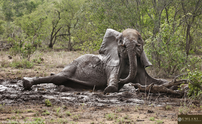 Fun In The Mud For A Family Of Elephants Africa Geographic