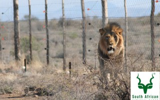sylvester-the-lion