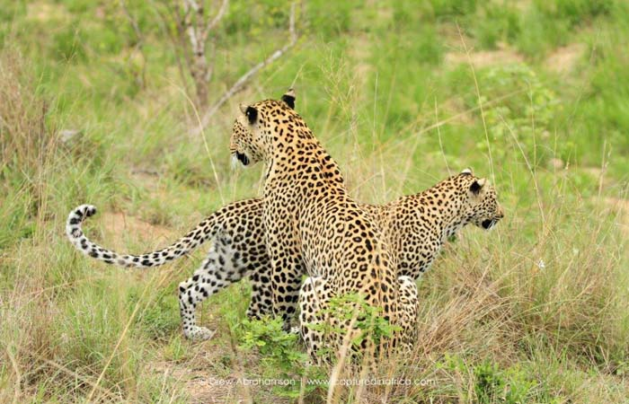 two-leopards