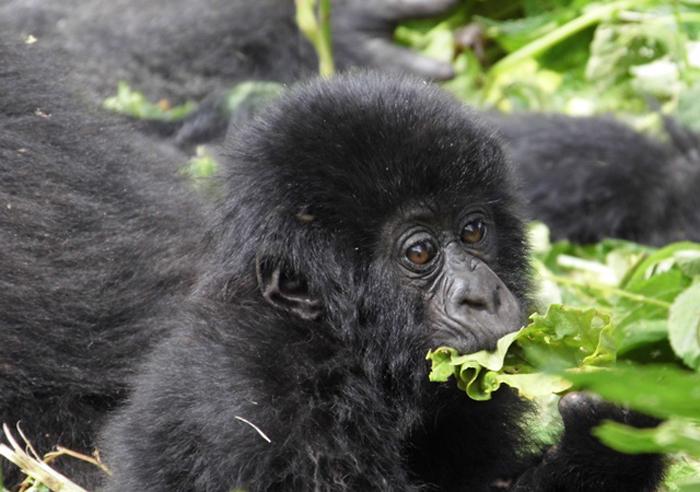 virunga-gorilla-trek