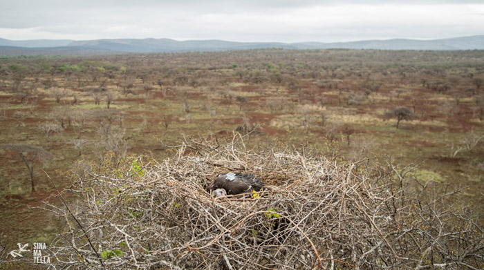 vulture-nest
