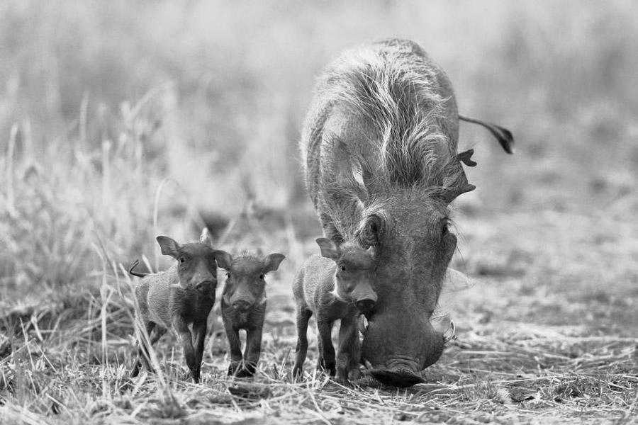 warthogs-south-luangwa