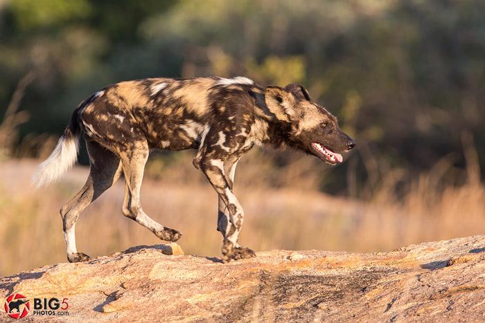 wild-dog-photos-safari