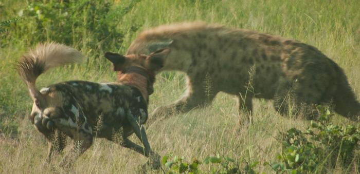 wild-dog-takes-on-hyena