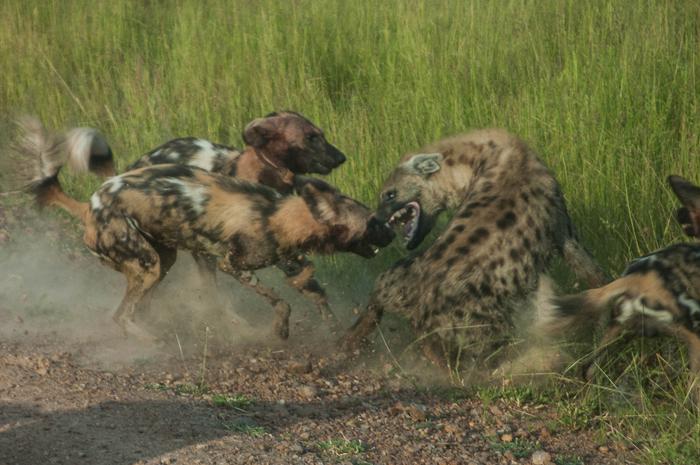 Hyena Wild Dog Video