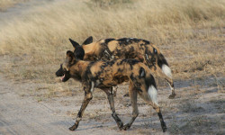 wild-dogs-work-together