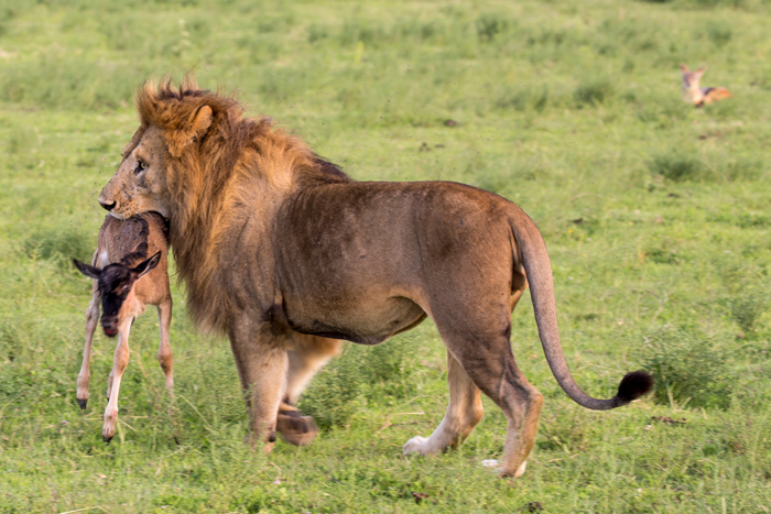 wildebeest-calf-in-lions-mouth