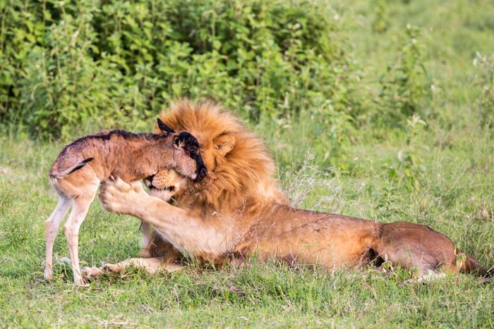 wildebeest-calf-with-lion