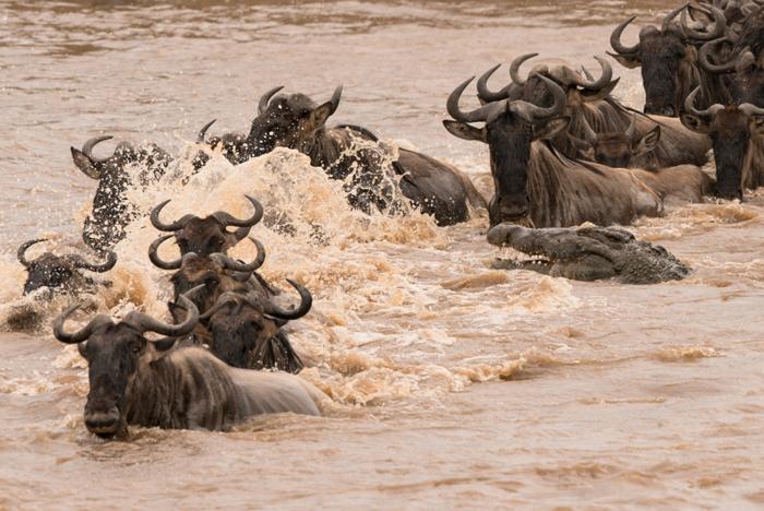 wildebeest-crossing