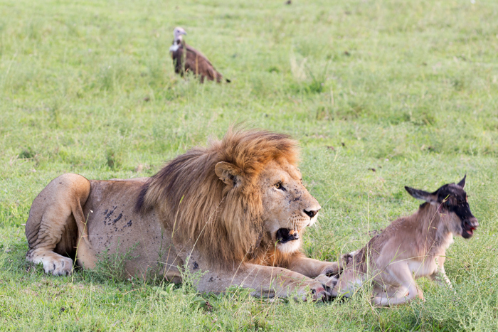 wildebeest-tries-to-escape-from-lions