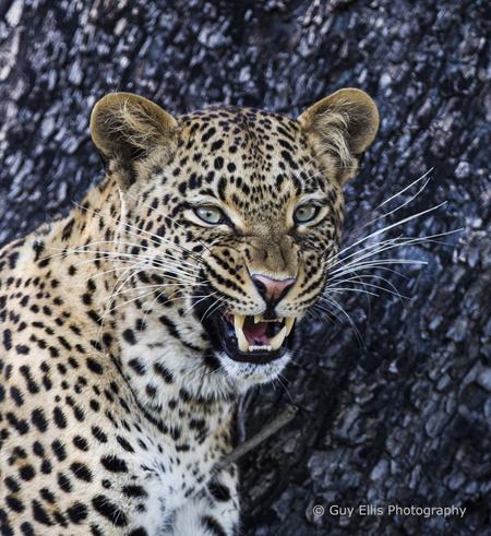 yawning-leopard