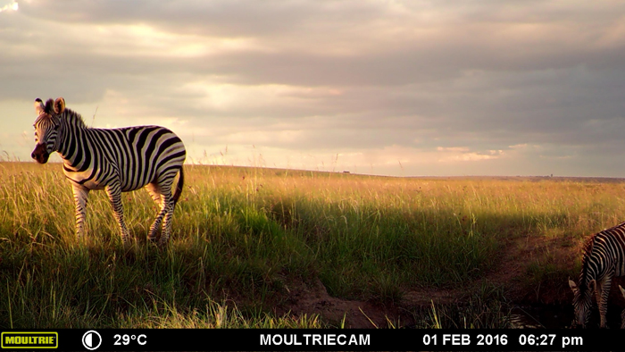 zebra-caught-on-camera
