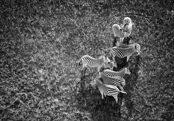 The key to great photography is knowing what you want and making plans to get the perfect shot like this aerial images of zebras in black and white by Andrea Galli