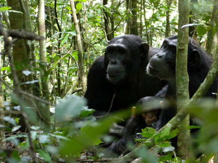 Chimps-in-Kibaale-Park