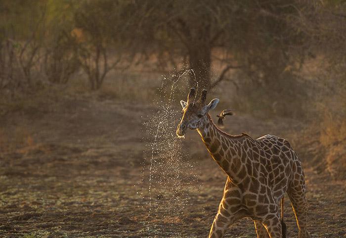 Drinking Giraffe