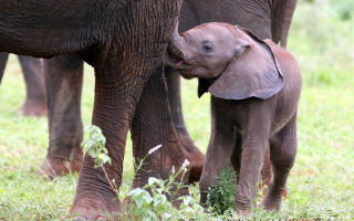 Elephant-calf-and-mother