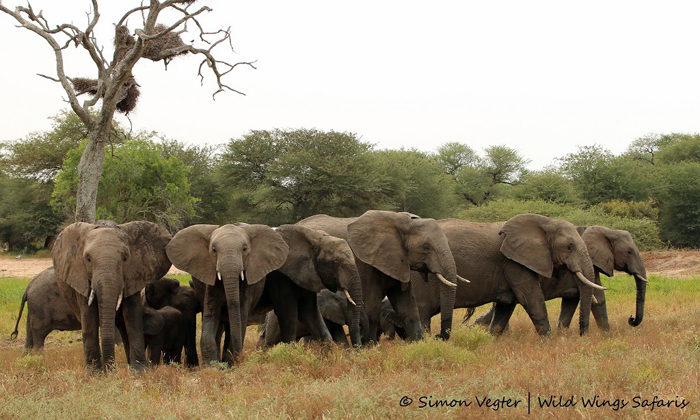 Elephant-herd-protects-calves