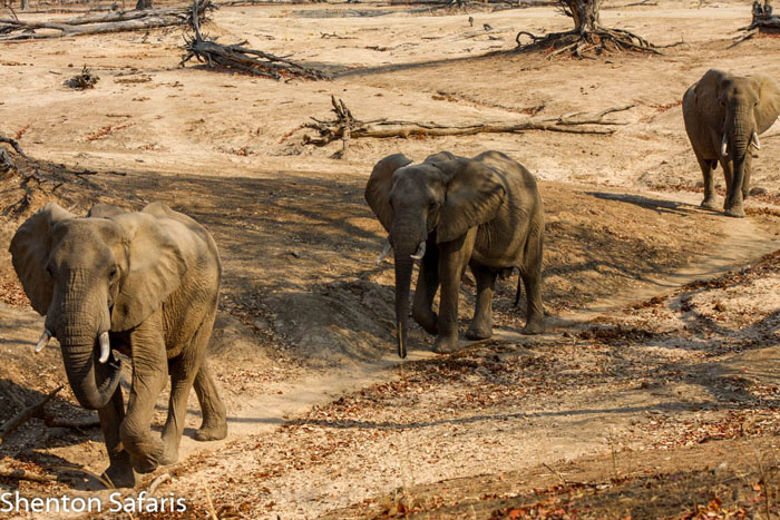 Elephant-line