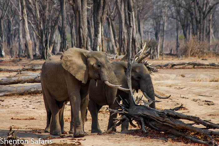 Elephants-and-turned-over-mopane-tree