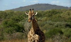 Giraffe-in-Lake-Mburo