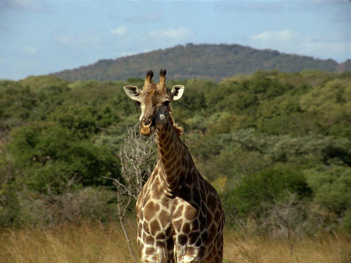 Giraffe-in-Lake-Mburo