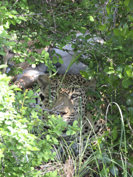 Leopard-in-camoflage-3
