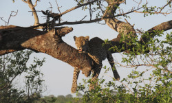 Leopard-relaxes-in-a-tree