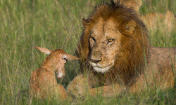 Lions-staring-down-topi-mara