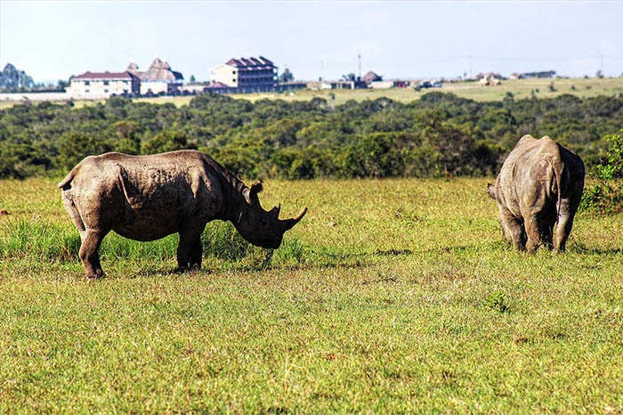 Ol-Pejeta-Conservancy_black-rhinos (3)