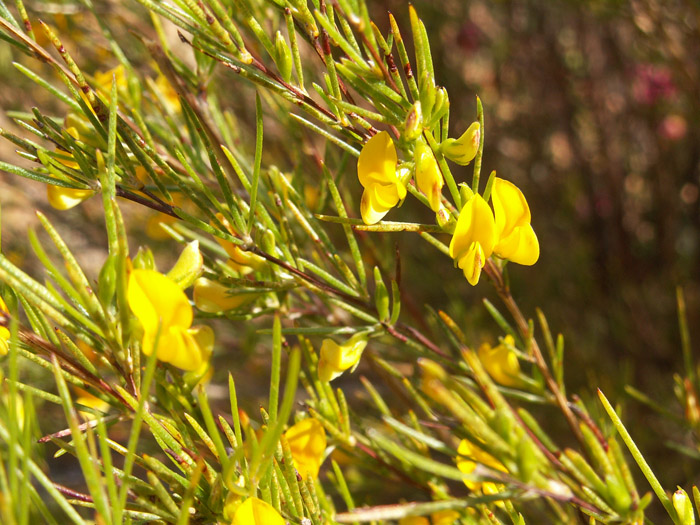 rooibos flower