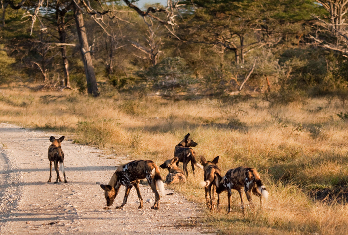 Start-of-wild-dog-hunt