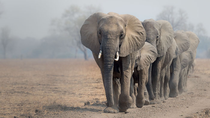 Trunk road - Savanna Elephant, South Luangwa National Park, Zambia - SZM15_2601