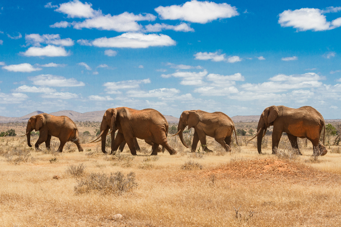 elephants, Tsavo national park, kenya