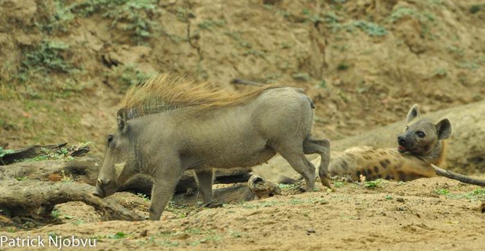 Warthog-disturbs-the-peace