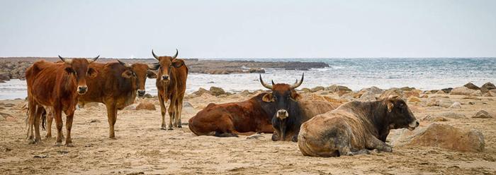 Wild-Coast-cows