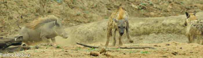 a-chase-between-warthog-and-hyena