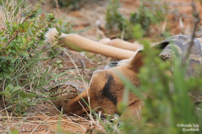 african-rock-python-impala
