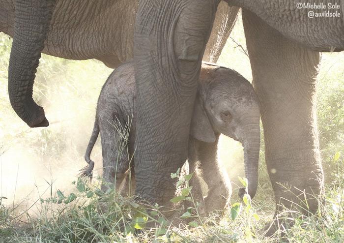 baby-elephant-hides-behind-mum