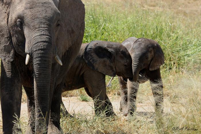 baby-elephants-playing