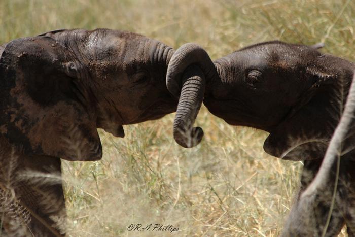 baby-elephants-use-their-trunks