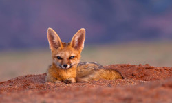 A Cape fox in soft light in the Namib. Photo competition entry by Sanet Rossouw.