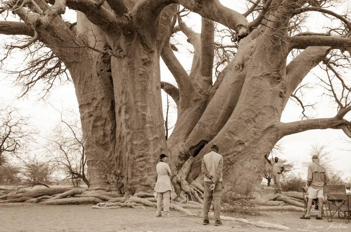 chapmans-baobab-relative-size