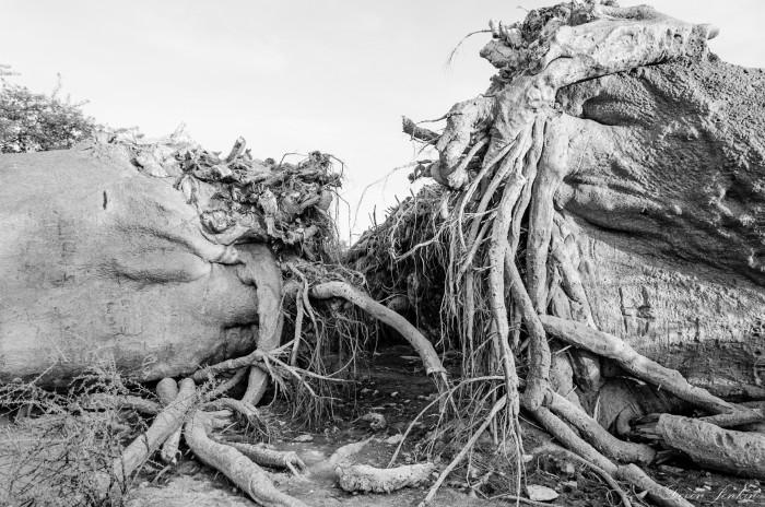 chapmans-baobab-roots