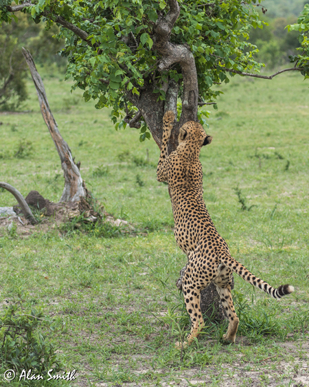 cheetah-stretching